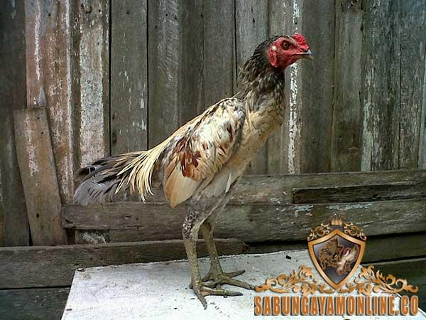 ciri ayam birma asli, ayam aduan, ayam petarung, ayam bangkok, ciri khas, kelebihan, kekurangan