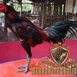 ciri khas, ekor ayam aduan juara, ayam petarung, ayam bangkok, ayam birma, tulang capit, kelebihan