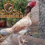 ayam aduan brazil, ayam petarung, amerika latin, amerika selatan, ayam bangkok, ayam birma, ciri khas, kelebihan, kelemahan