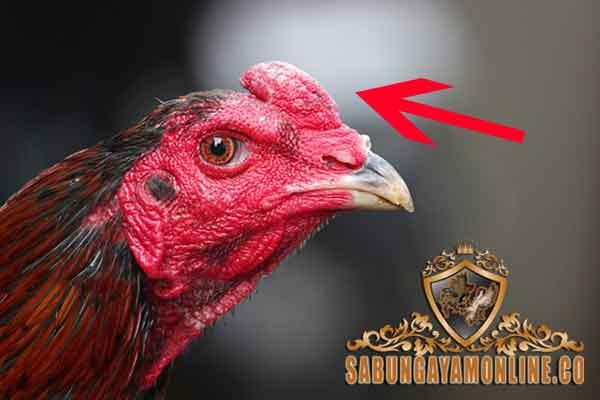 jenis jengger, ayam aduan, ayam petarung, ayam bangkok, ayam saigon, ayam birma, ayam pelung, ayam panus, ayam ciparage