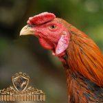 katuranggan kepala ayam, ayam bangkok, ayam aduan, ayam petarung, ayam birma, ayam saigon, ciri khas, ilmu botoh tua