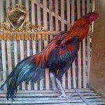 keunggulan ayam magon, keunggulan, kelebihan, ciri khas, ayam magon, ayam birma, ayam saigon, ayam aduan, ayam petarung