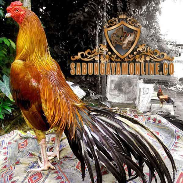 Mengenal Ayam Bangkok Wiring Kuning - sabunamonline.us on