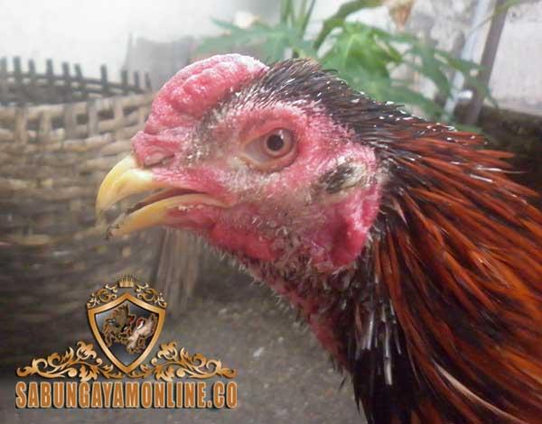 pengobatan, pencegahan, kurap pada ayam aduan, korep, buras, ayam petarung, ayam bangkok, cara, tips, obat