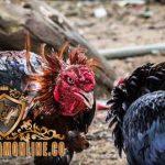 tanda, ciri, ayam aduan siap tarung, ayam petarung, ayam bangkok