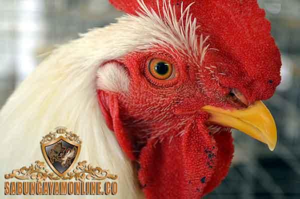 tips, perawatan, paruh ayam aduan, ayam petarung, ayam bangkok, ayam birma, ayam saigon, ayam shamo