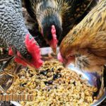 jenis makanan, pakan ayam, ayam aduan, ayam bangkok, ayam petarung, tips, cara,
