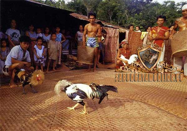 Ilmu Katuranggan Ayam Aduan, ciri, kelebihan, arti, botoh tua, katuranggan, caturangga, ilmu, ayam aduan, ayam petarung, ayam bangkok