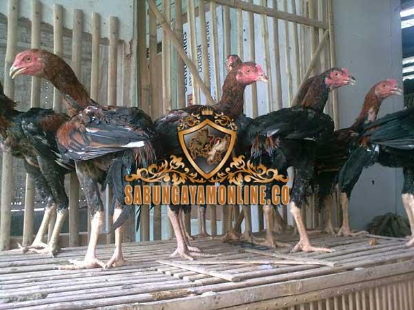 cara memilih bibit ayam, ayam aduan, ayam bangkok, ayam petarung, tips, cara, syarat, fisik, teknik
