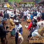 festival tajen, bali, meklecan, ngadu, olagan, ayam aduan, ayam petarung, katuranggan, taji, jalu