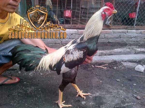 jenis ayam birma asli, ayam aduan, ayam saigon, ayam bangkok, birma ori, pama, gostan, pakhoy, makhoy, ayam petarung, ciri khas, teknik, gaya bertarung, kelebihan, katuranggan