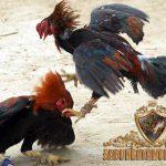 gaya bertarung ayam bangkok, teknik, gaya bertarung ayam bangkok, ayam aduan, ayam petarung, ayam saigon, ayam birma, ayam pelung, ayam ciparage, ciri khas, kelebihan