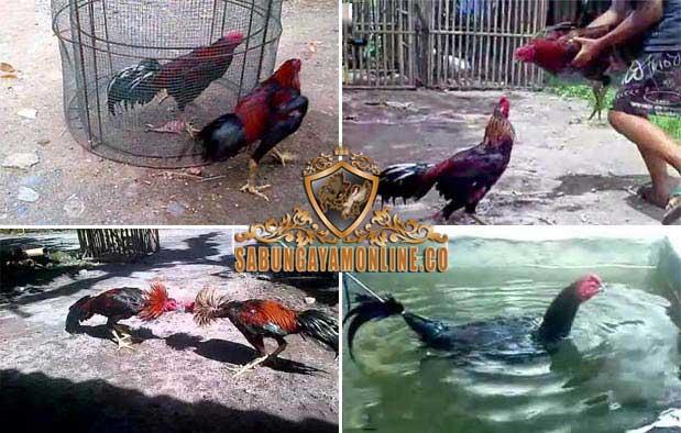 cara, tips, melatih fisik, melatih mental, ayam aduan, ayam petarung, ayam bangkok, ayam saigon, ayam birma, ayam shamo, ayam filipin, ayam ciparage, ayam pelung