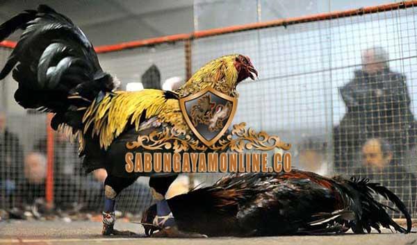 sabung ayam taji, tradisi, bali, sulawesi, papua, filipina, kolombia, ayam aduan, ayam petarung, ayam bangkok