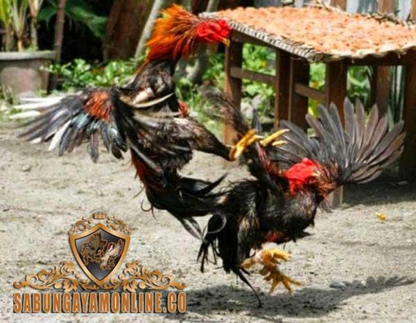cara mengenal, potensi, kelebihan, keunggulan, ayam petarung, ayam aduan, ayam bangkok, tanda-tanda