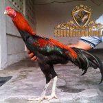 asal-usul, sejarah, ayam aduan, ayam petarung, ayam bangok, ayam ujung, thailand, bangkok, malaysia, ayam bangkok, ayam ujung, ayam pakhoy, ciri khas, katuranggan, kelebihan, teknik bertarung, ternak ayam