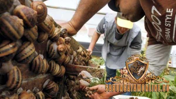 khasiat daging bekicot, ayam aduan, ayam petarung, ayam bangkok, obat, ramuan, fungsi, khasiat, bekicot