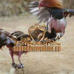 ayam bangkok, pukul lompat, ayam aduan, ayam petarung, ciri khas, kelebihan, katuranggan, teknik bertarung, gaya bertarung