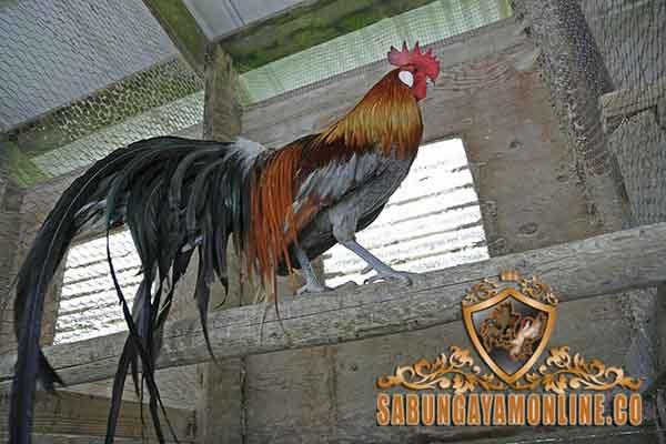 ekor ayam, ayam bangkok, ayam aduan, ayam petarung, katuranggan, ciri khas, kelebihan, botoh tua, sabung ayam, adu ayam, juragan ayam