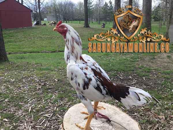 kelebihan, kekurangan, ayam brazil, ayam aduan, ayam bangkok, ayam petarung, katuranggan