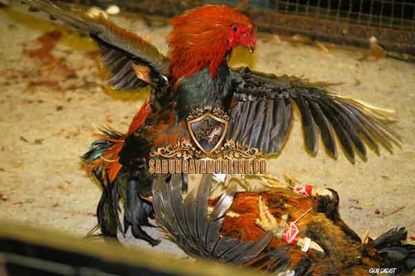 melatih, latihan, cara, tips, ayam bangkok pukul mati, ayam bangkok, ayam aduan, ayam petarung, pukul mati, teknik, gaya bertarung , Anak Ayam Bangkok,