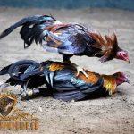 tanda ayam aduan, siap tempur, siap tarung, abar, ayam aduan, ayam petarung, ayam bangkok, ciri