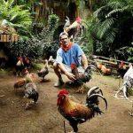 tips, memperkuat ayam bangkok, ayam aduan, ayam petarung, latihan renang, pemijatan ayam, cara ampuh, botoh tua
