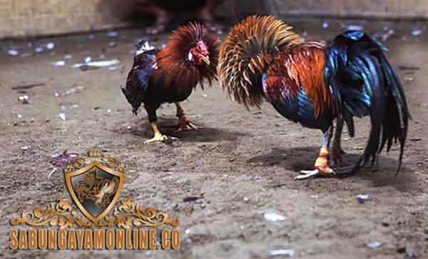 pukul badan, pukul dada, ayam aduan, ayam bangkok, ayam petarung, teknik bertarung, sabung ayam, gaya bertarung