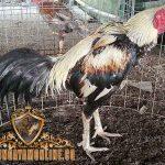 Keunggulan Ayam Magon, Kelebihan Ayam Magon, ayam magon, ciri khas, kelebihan, katuranggan, ayam birma, ayam saigon, ayam aduan, ayam petarung, ayam bangkok