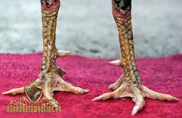 Ciri Kaki Ayam, ayam bangkok, ayam aduan, ayam petarung, ciri khas, kelebihan, kaki, ceker, jalu, taji, botoh tua, katuranggan, otot, fisik