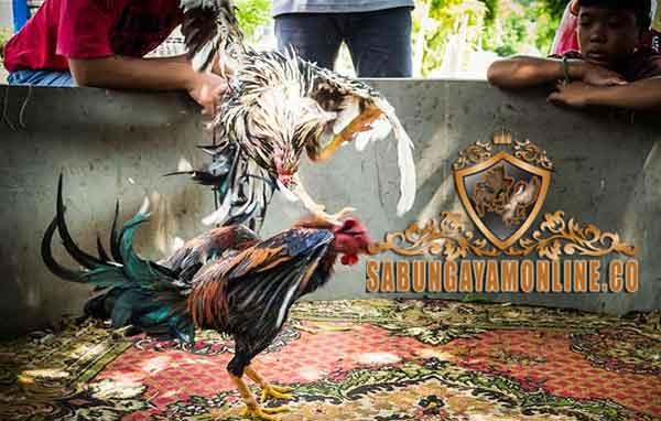 pukulan ayam, jenis, ciri, tipe, teknik, ayam aduan, ayam petarung, ayam bangkok