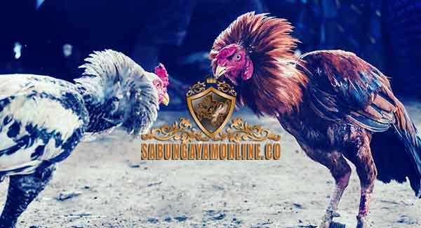 Ayam Aduan Paling Terkenal, ayam aduan, ayam petarung, ayam bangkok, ayam birma, ayam saigon, ayam kampung, ayam ciparage, ayam pakhoy, ciri khas, katuranggan, kelebihan