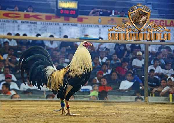 ayam filipin, gamefowl, ayam aduan, ayam petarung, ayam bangkok, taji, ayam taji, taji pisau, jalu