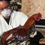 luka pada ayam, cara mengobati, pengobatan luka ayam aduan, ayam aduan, ayam petarung, ayam bangkok, obat