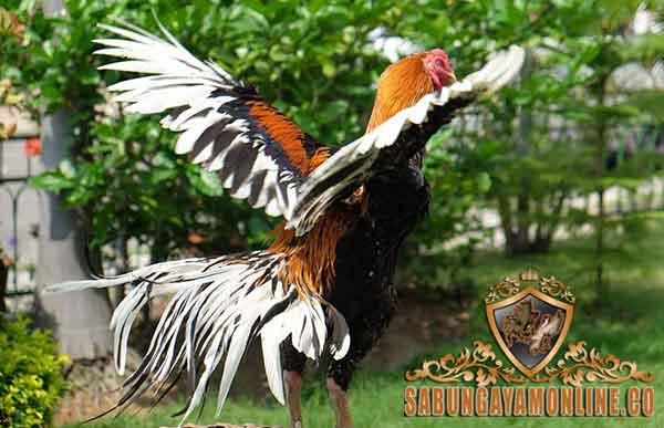 penyebab, ayam aduan kurus, ayam petarung, ayam bangkok, ayam birma, ayam saigon, cacingan, pakan ayam aduan, kawin