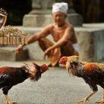 rawis ayam bangkok, ayam aduan, ayam bangkok, ayam petarung, rawis, bulu, ciri khas, kelebihan, katuranggan