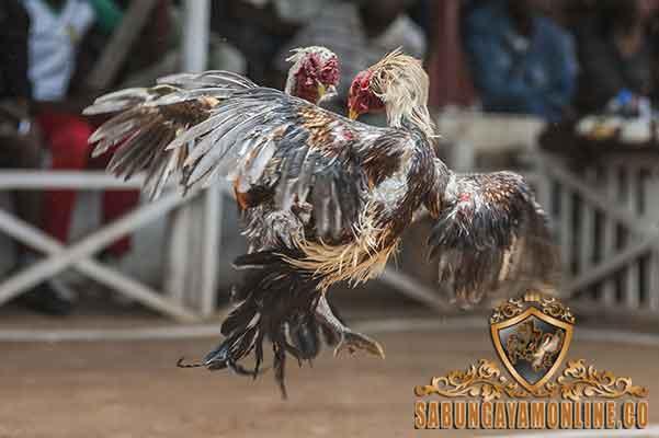 faktor juara, ayam aduan, ayam aduan juara, kelebihan, syarat, ayam aduan, ayam petarung, ayam bangko, mental bertarung, kondisi fisik, fisik, kekuatan, teknik bertarung