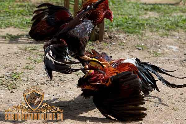 alasan, ayam bangkok dijagokan, ayam aduan, ayam petarung, ciri khas, kelebihan, keunggulan, mental bertarung, fisik, teknik bertarung, katuranggan, botoh tua