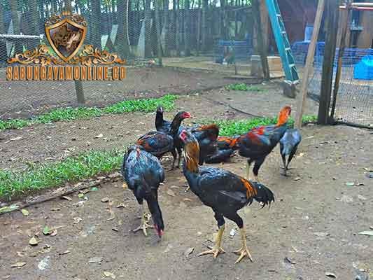 ayam brazil raksasa, ayam aduan, ayam petarung, ayam bangkok, ayam brazil, kelebihan, ciri khas, katuranggan, ayam shamo, ayam asil, aseel