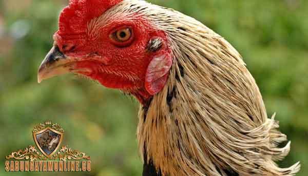 ayam birma disegani, ayam aduan, ayam petarung, birma, myanmar, ayam bangkok, ayam petarung, ayam aduan, ciri khas, kelebihan, teknik, pukulan beruntun, lincah, gesit, cepat, lentur, katuranggan, teknik bertarung
