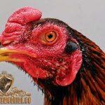 ayam bangkok. bentuk kepala, sabung ayam, sabung ayam online