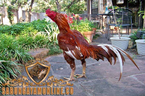 ayam shamo, ayam bangkok, ayam petarung, ayam aduan, ayam laga, ciri khas