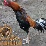 ayam bangkok suro, ayam bangkok, ayam suro, suro katuranggan, ciri khusus, ciri, jenis, suro, bangkok