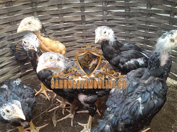 anakan ayam bangkok, sabung ayam online, agen sabung ayam