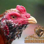paruh ayam bangkok, tajam, kuat, runcing, kokoh, tips, cara