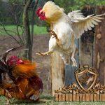jalu ayam bangkok, senjata, kaki, ayam petarung, ayam bangkok