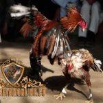 ayam petarung muda, ayam bangkok, cara, melatih, merawat, tips