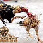 ayam bangkok, pukul terbang, teknik, cara, laga ayam
