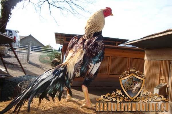 ayam petarung, ayam taiwan, ayam bangkok, ayam laga, ayam aduan