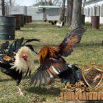 ayam bangkok, ritual, latihan
